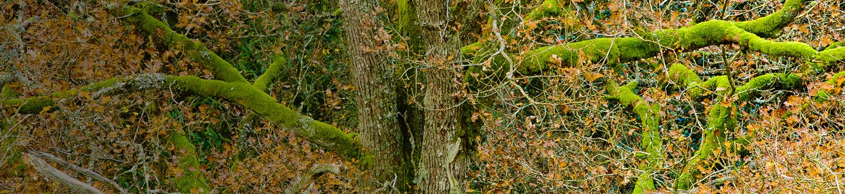 Zomereik, bomenbeheer