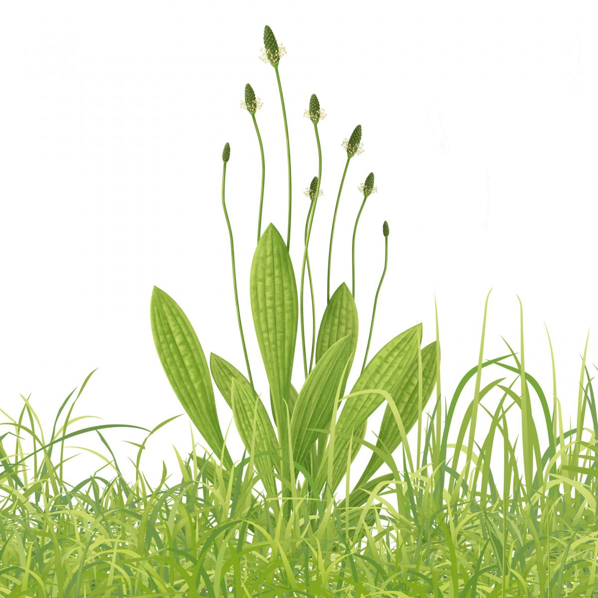 129e34acaad Smalle weegbree (Plantago lanceolata) overzichtstekening.