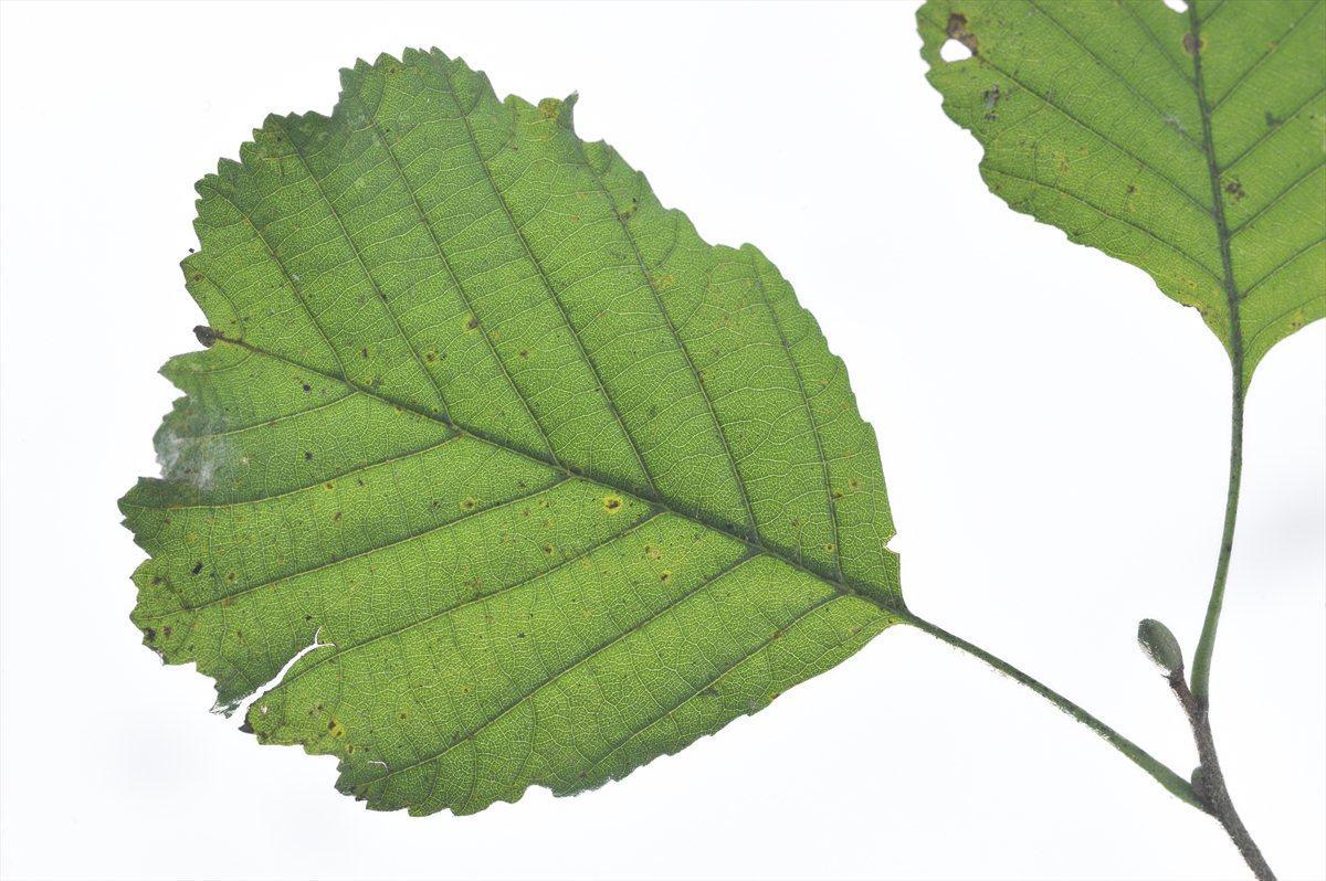 Zwarte els ecopedia zwarte els alnus glutinosa stopboris Images