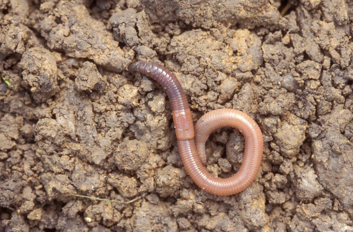 Regenworm Ecopedia