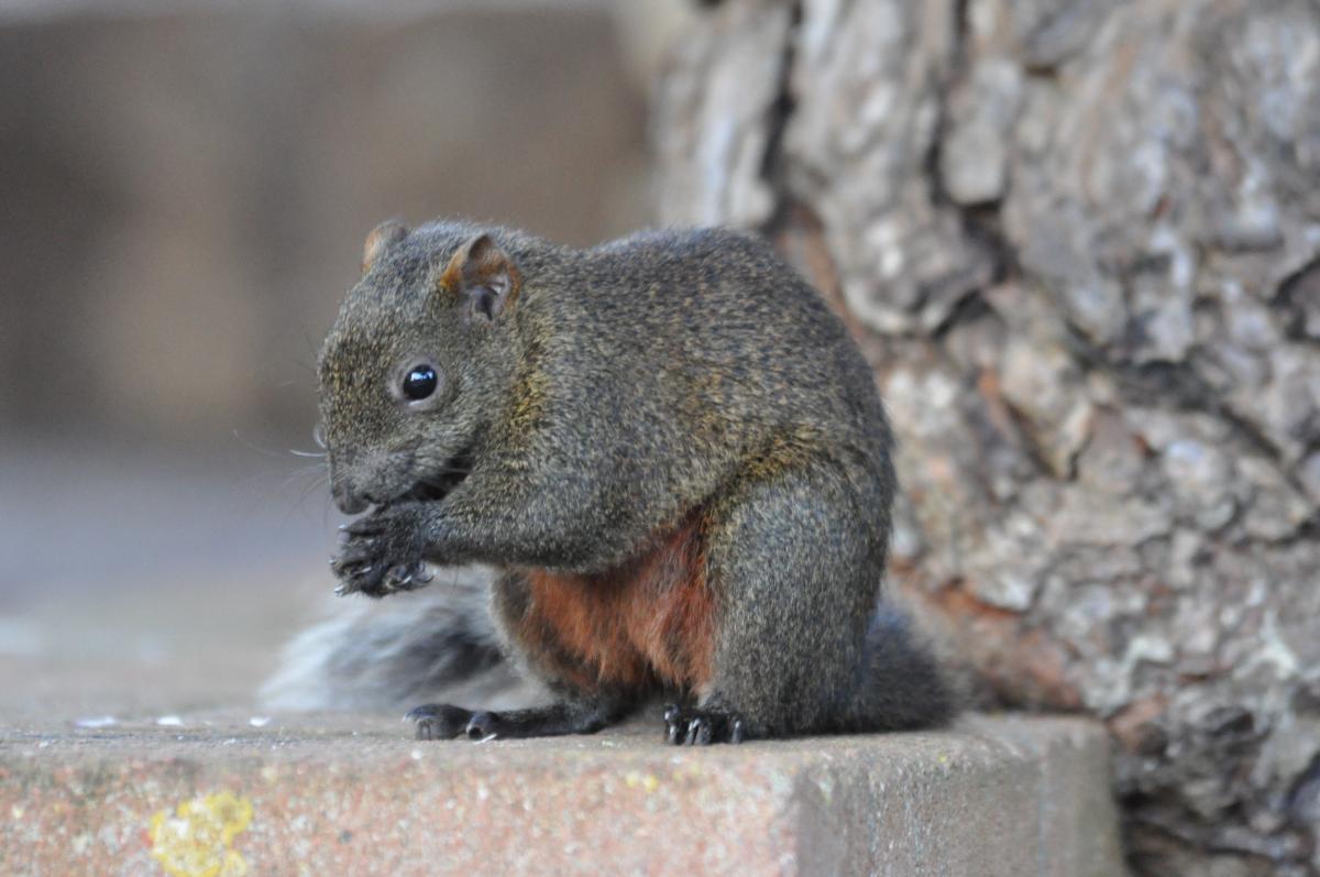 Pallas eekhoorn