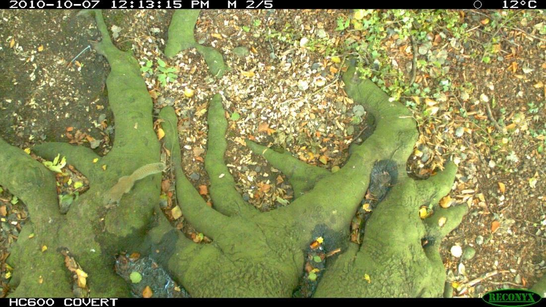 Pallas eekhoorn op wildcamera