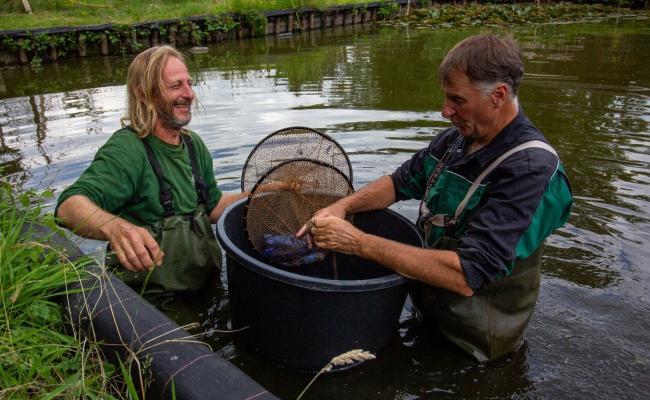 Afvangst van Amerikaanse stierkikker door Natuurwerk vzw (Natuurwerk vzw)