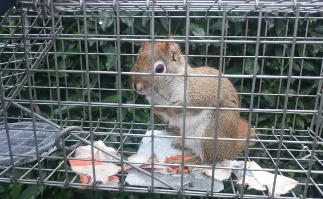 Amerikaanse rode eekhoorn