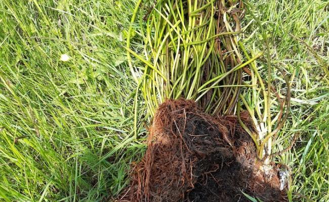 Kaapse waterlelie - Aanzienlijke wortelmat van een plant uit de Zwarte beek (VMM)