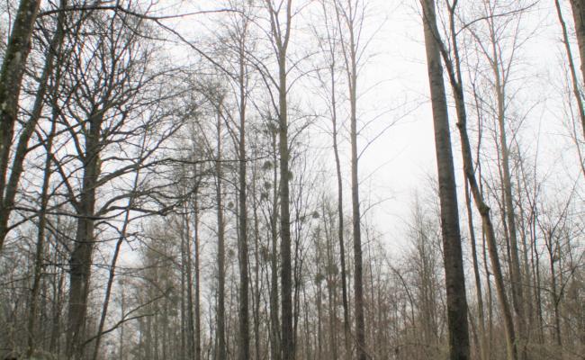 Snel bosklimaat en opbrengst dankzij populier in combinatie met inheemse soorten