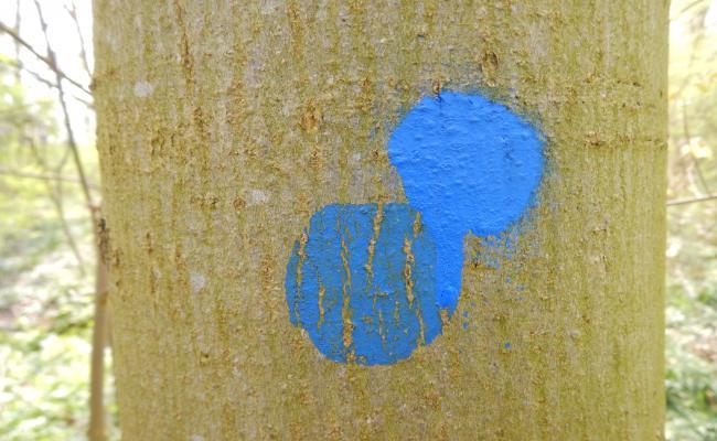 Oude en nieuwe markering van een toekomstboom gewone es