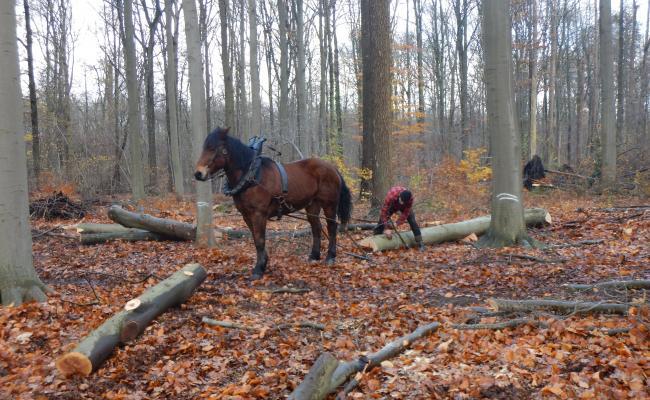 Sortimenten loofhout bijtrekken tot aan de ruimingspiste met paard