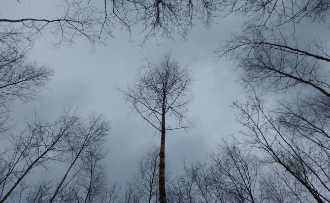 Toekomstboom berk helemaal vrij gezet bij de eerste dunning